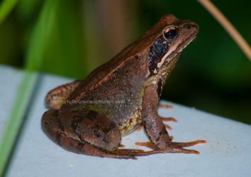 Little brown frog by Ophelia-Yvaine