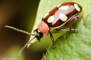 Colorful spotted beetle by dllavaneras