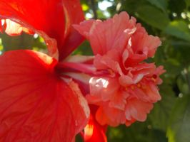 Hibiscus In Bloom by Taking-Flyte
