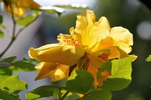 Yellow Roses Nr. 5 by OfTheDunes