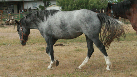 Blue Roan Stock 49 by tragedyseen