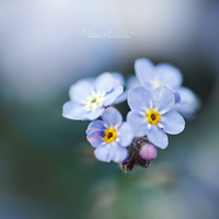Forget me not. by OliviaMichalski