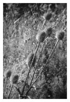2016-253 Teasels by 100mm by pearwood