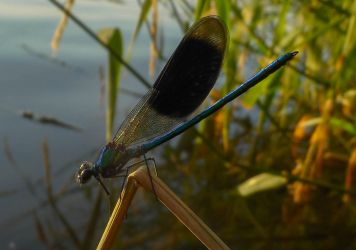 Darkish blue damselfly by Stilleschrei