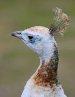 Indian Peafowl by CharlyJade