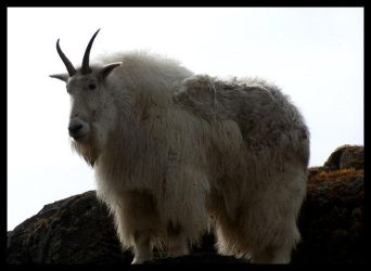 Mountain Goat by QuickStopMe