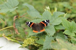 Butterfly 1 - Red Admiral by wuestenbrand