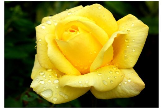 Yellow Rose Droplets by mr-macd