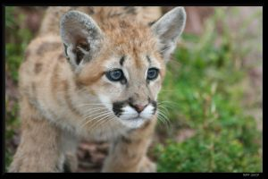 Baby Mountain Lion by BPFischer