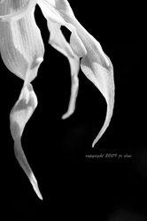 Black and white orchid by eskimoblueboy