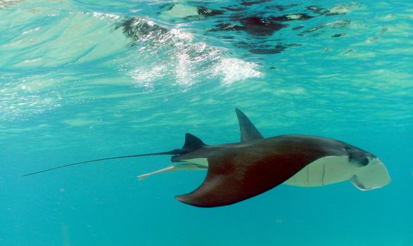 Manta with attached remora by g--f