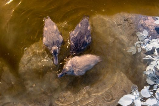 Ducklings by Bunny-with-Camera