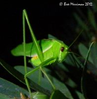 Katydid by BreeSpawn