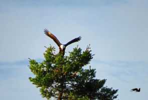 Eagle Gracefully Landing On Tree by wolfwings1