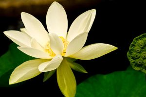 Yellow Morning Lily by tjohare