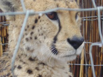 Cheetah Extreme Close Up by rt1artic