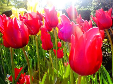 FLOWER#12 Red Tulips by yelyahlover