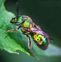 The Metallic Green Bee - Augochloropsis metallica by WanderingMogwai