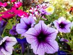 Petunias Of All Colors by jim88bro