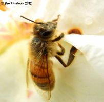 Honey Bee Macro by BreeSpawn