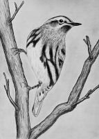 Black and White Warbler by PMucks