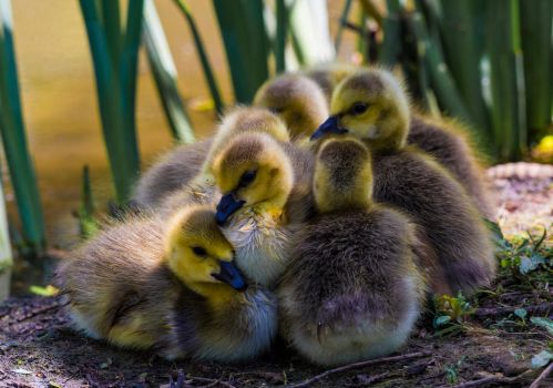 Clumped Goslings! by Mincingyoda