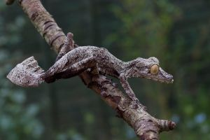 Giant leaf tailed gecko 14 by AngiWallace