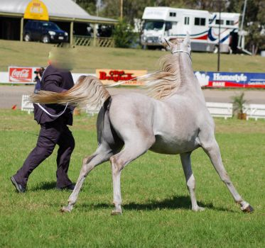 TW arab greywhite canter behind 3/4 by Chunga-Stock