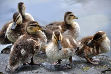Baby Ducks of a Feather by KeenPhotography
