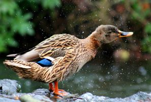 Like water off a ducks back by philbertk