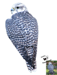 Cut-out stock PNG 118 - lanner falcon by Momotte2stocks