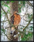 Red Shouldered Hawk by Dracoart