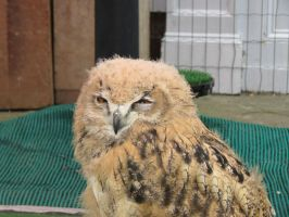 owl  its only a baby by Sceptre63