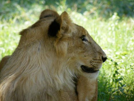 Lion in Egyptian Giza Zoo by Hashem7
