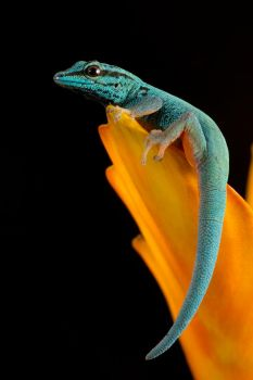 Blue gecko portrait by AngiWallace