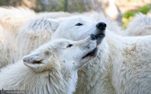 Arctic wolves, Amneville zoo by BKcore