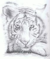 White Tiger by WhisperingEquus