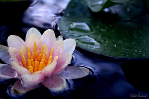 Water Lily by PetitEntreat