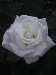 White Rose by WysteriaCampion913