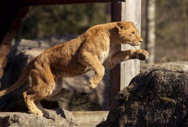 Jumping lion. by Ravenith