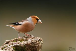 Hawfinch by ClaudeG