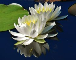 Rieve's Pond Water Lily Pair by Matthew-Beziat
