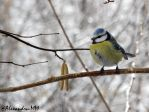 Parus caeruleus by Alexandru-MM