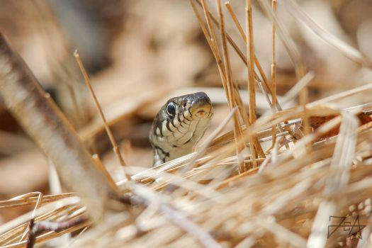 Grass snake (Natrix natrix) by Azph