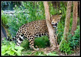 Jaguar by Haywood-Photography