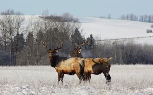 Elk by mad1dave