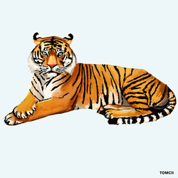 Tiger by Tom-Cii