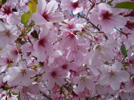 Cherry Blossoms 4 by Applemac12