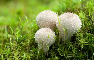 Warted Puffballs in the Moss by enaruna