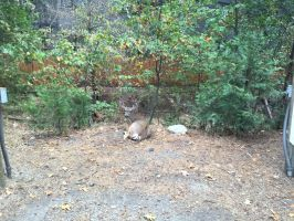 Mule Deer Nap by Yosemite-Stories